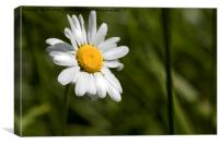 English Wild Flowers - Ox-eye Daisy, Canvas Print