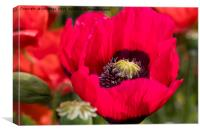 Blood-red Poppy macro image, Canvas Print
