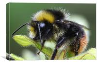 early bumblebee, Canvas Print