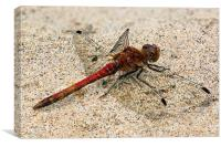 dragonfly - common darter, Canvas Print