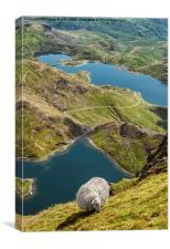 Sheep of Snowdonia, Canvas Print