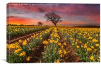 Field of Daffodils Sunset, Canvas Print