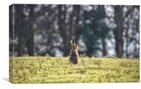 An elderly hare basking in the sunshine. , Canvas Print