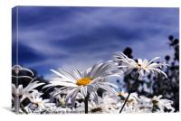 Oxeye daisy's deep blue sky, Canvas Print
