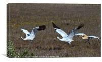 Whooping Cranes, Canvas Print
