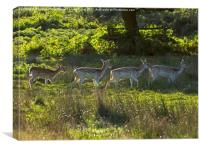 Fallow deer does and fawns at sunrise, Canvas Print