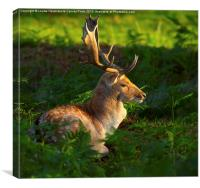 Fallow deer buck at sunrise, Canvas Print