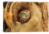 Little Owl, Canvas Print
