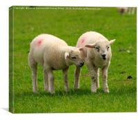 Twin lambs in spring, Canvas Print