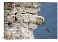 Atlantic puffin on the edge of a chalk cliff, Canvas Print