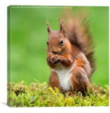 Red Squirrel with a nut, Canvas Print