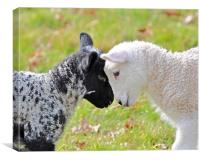 Black and white Lambs, Canvas Print