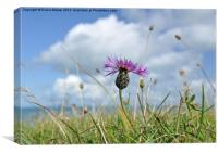 Knapweed, Canvas Print
