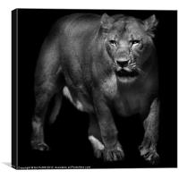 Lioness Emerging, Canvas Print