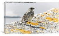 ROCK PIPIT FRONT VIEW, Canvas Print