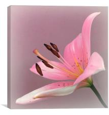 PINK LILY                  , Canvas Print
