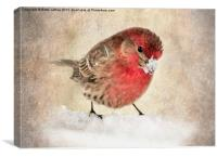 House Finch in Snow, Canvas Print