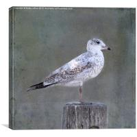 White Speckled Seagull, Canvas Print
