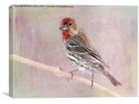Male House Finch, Canvas Print