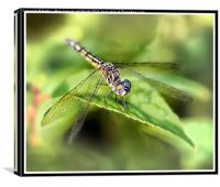 Dashing Blue Dasher, Canvas Print