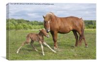 Foal first time standing, Canvas Print