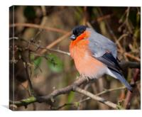Bullfinch, Canvas Print