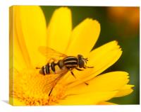Single Hoverfly, Canvas Print