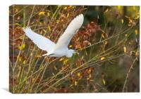 Little Egret in flight, Canvas Print