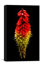 Red Hot Poker, Canvas Print