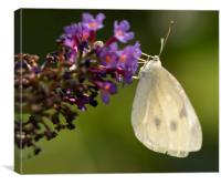 Cabbage White Butterfly Pieris rapae, Canvas Print