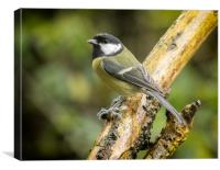 A very wet great tit, Canvas Print