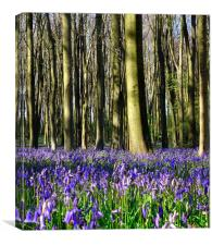 Common bluebell wood scene 2, Canvas Print