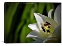 White Lily (Digital Art) , Canvas Print