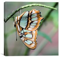 Blue and orange butterfly, Canvas Print