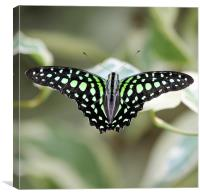 Black and green butterfly, Canvas Print