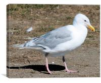 Glacous winged gull 2, Canvas Print