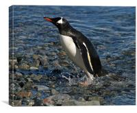 Gentoo penguin washing, Canvas Print