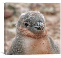 Chinstrap penguin chick 24, Canvas Print