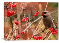 Hungry Waxwing, Canvas Print