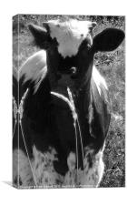 Calf in black and white, Canvas Print