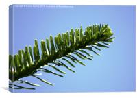Pine needles in the Sky, Canvas Print