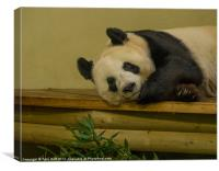 Tian Tian the Giant Panda, Canvas Print