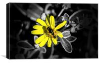 Bee collecting pollen from a daisy, Canvas Print