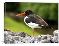 Dales Oystercatcher, Canvas Print