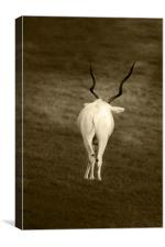 white goat with wavy horns, Canvas Print