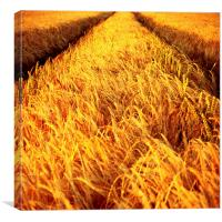 Almost Harvest Time, Canvas Print