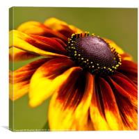 Orange and Red Rudbeckia, Canvas Print
