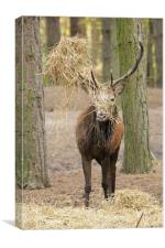 red deer stag in rut, Canvas Print