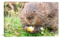 water vole eating, Canvas Print