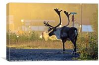 early morning caribou, Canvas Print